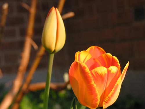 [Harvey's orange tulips]