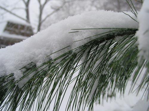 [snow on pine needles]