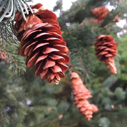 [conifer cones]